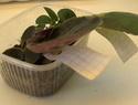 Урок 1. Вегетативное размножение сенполии, листовым черенком. F2010