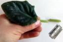 Урок 1. Вегетативное размножение сенполии, листовым черенком. F215