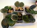 Урок 1. Вегетативное размножение сенполии, листовым черенком. F2410