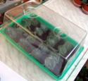 Урок 1. Вегетативное размножение сенполии, листовым черенком. F411