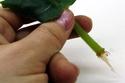 Урок 1. Вегетативное размножение сенполии, листовым черенком. F511