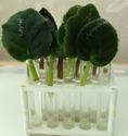 Урок 1. Вегетативное размножение сенполии, листовым черенком. F612