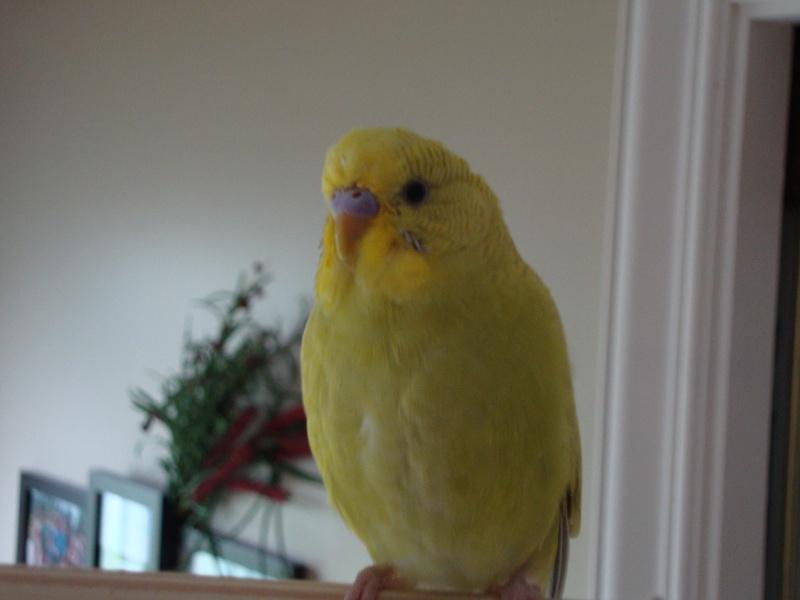 Nouvelles photos des mes perruches Dsc03611