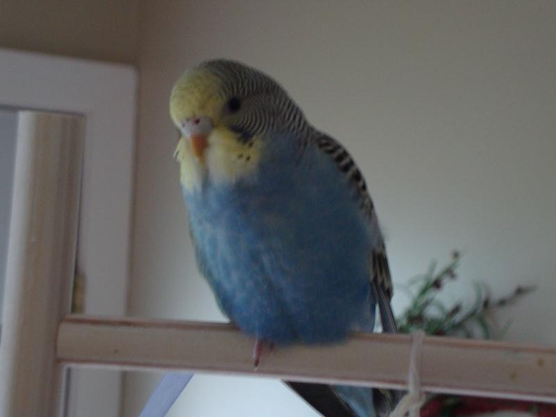 Nouvelles photos des mes perruches Dsc03612