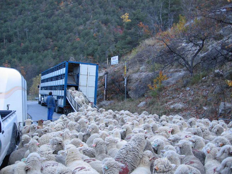 Des photos de camions bétaillères à moutons et d'autres photos de camions aussi conduit par Henry Elie . - Page 4 Alpage13