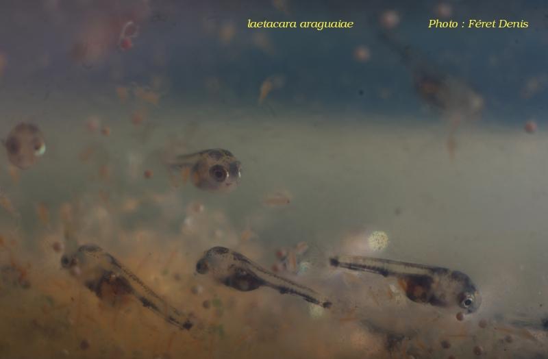 Laetacara araguaie - Page 2 2012-112