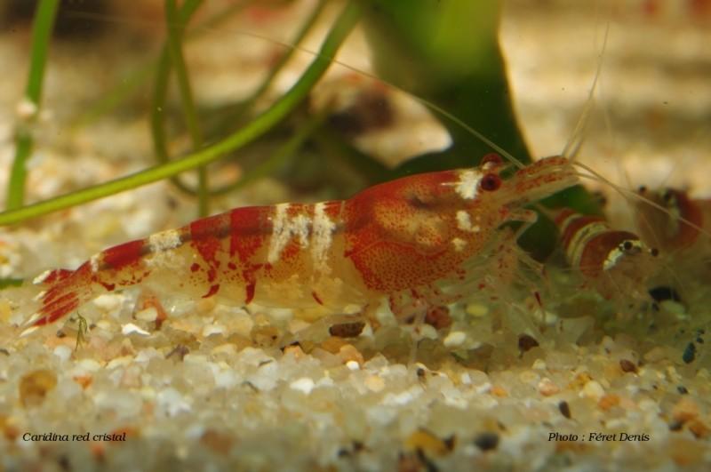 Caridina red cristal Caridi17