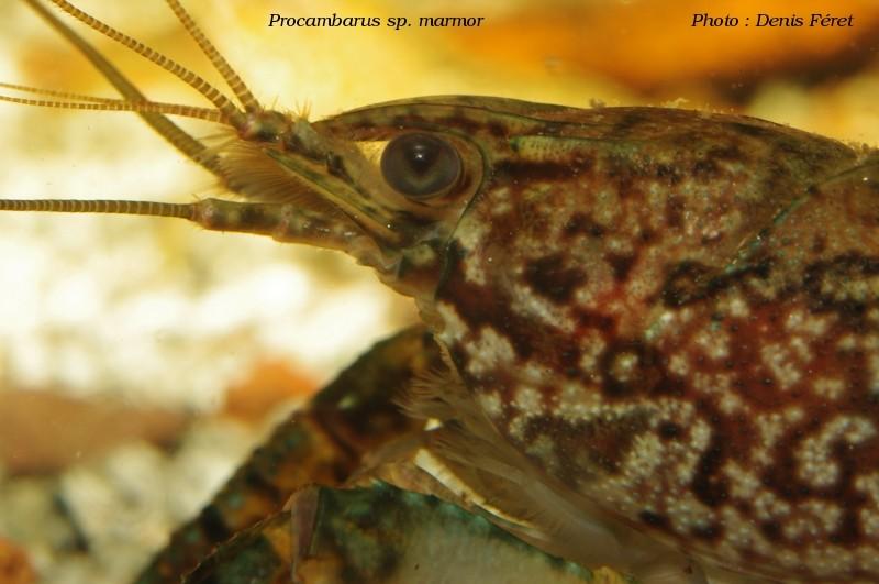 Procambarus sp marmor Procam12