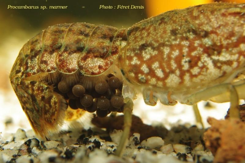 Procambarus sp marmor Procam14