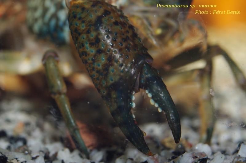 Procambarus sp marmor Procam15