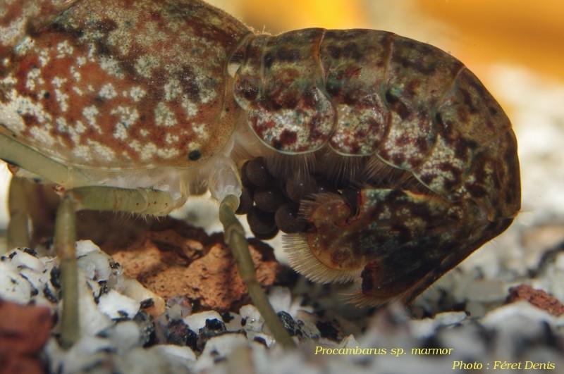 Procambarus sp marmor Procam17