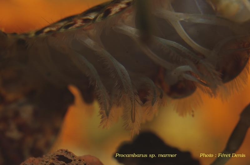Procambarus sp marmor Procam18