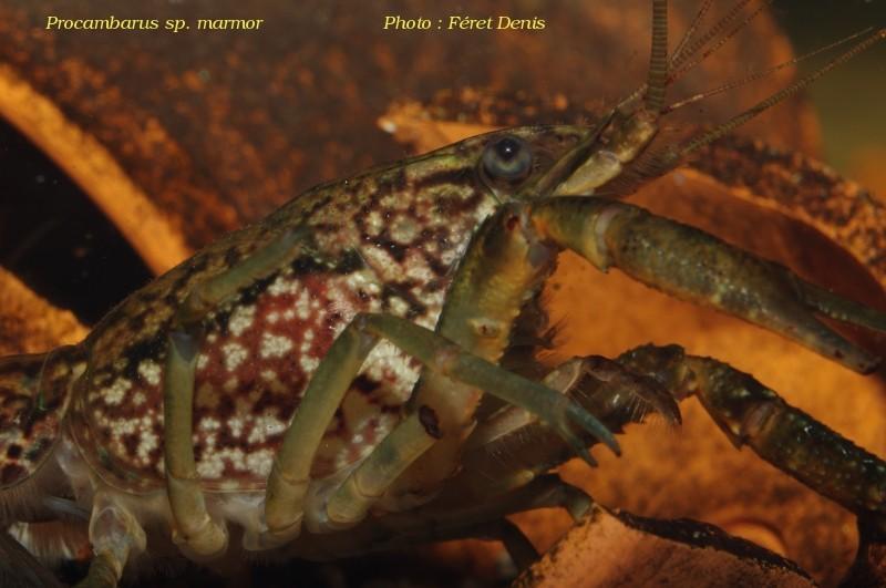 Procambarus sp marmor Procam20