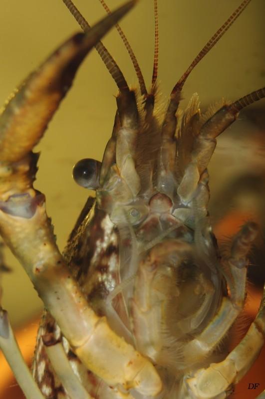Procambarus sp marmor Procam21