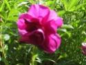 mes roses 2008 Hansa_10