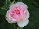 mes roses 2008 Herita10