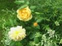 mes roses 2008 Imga0514