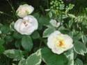 mes roses 2008 Jaquel10