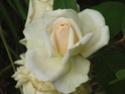 mes roses 2008 Reve_d10