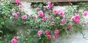 mes roses 2008 Rosier10