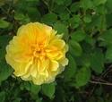 mes roses 2008 Rosier11