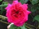 mes roses 2008 Sans_n10