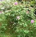 mes roses 2008 Zephir10