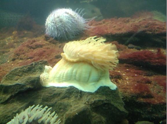 Nausicaa musée océanographique de Boulogne sur mer Anemon10