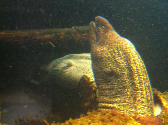 Nausicaa musée océanographique de Boulogne sur mer Murene10