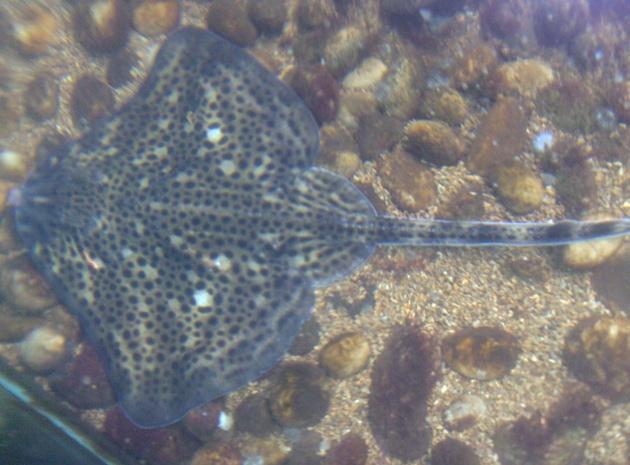 Nausicaa musée océanographique de Boulogne sur mer Raie_b10