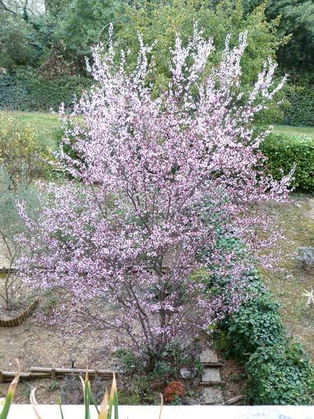 Prunus !!! 9-p10010