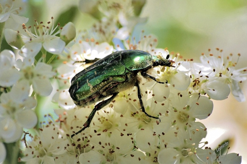 scarabées. A1410