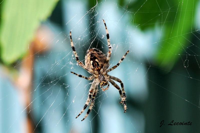 Araignée Dsc_6210