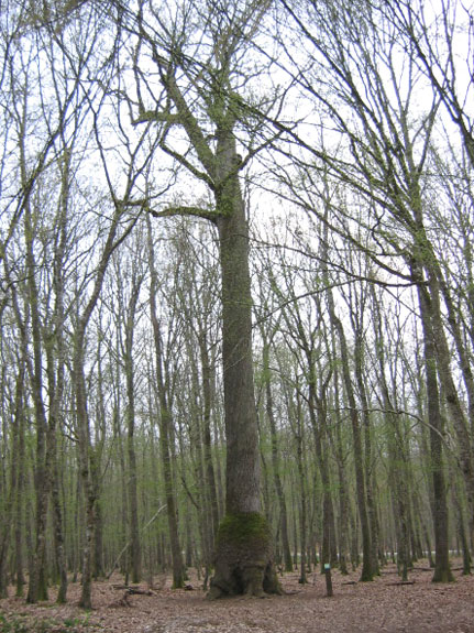 arbre remarquable Chene_14