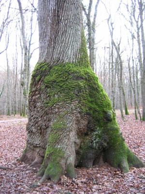 arbre remarquable Chene_16