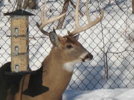 Photos d'un beau buck 610