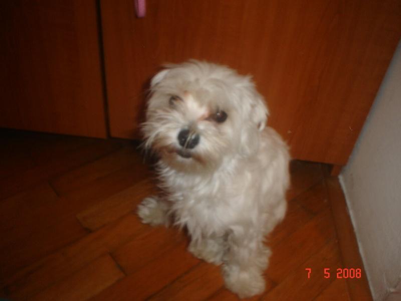 Moja princeza-Maltezerica Lana Dobro_10