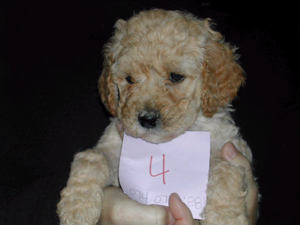Labradoodle Jazzy10