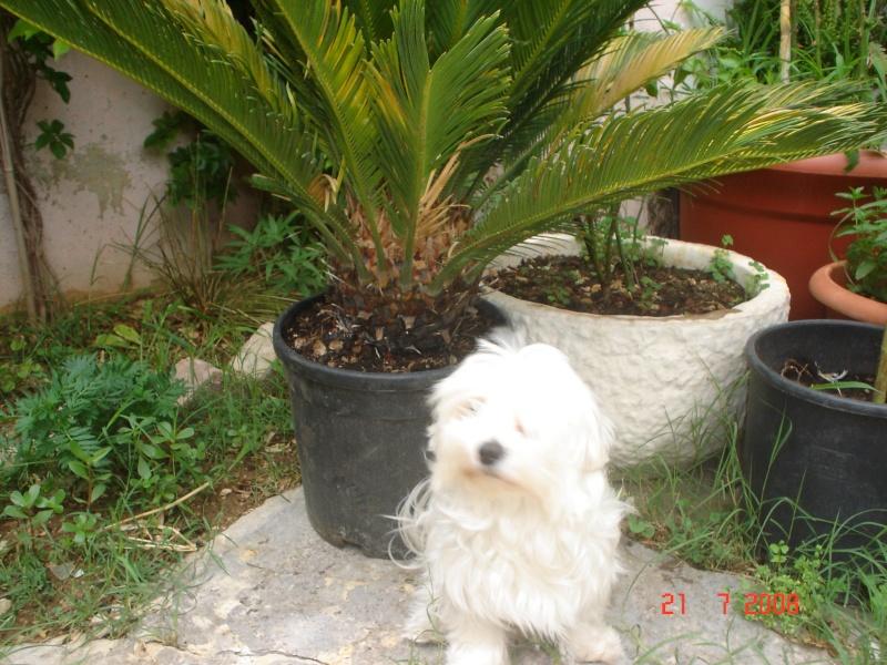 Moja princeza-Maltezerica Lana Lana_i10