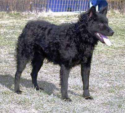 Hrvatski ovcar Roko210