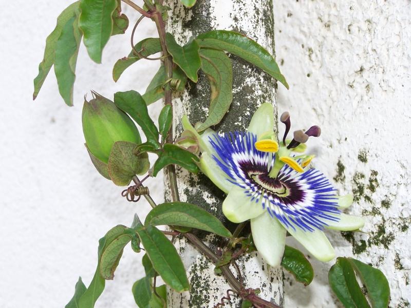 Se buscan fotos de P. caerulea 100_3810