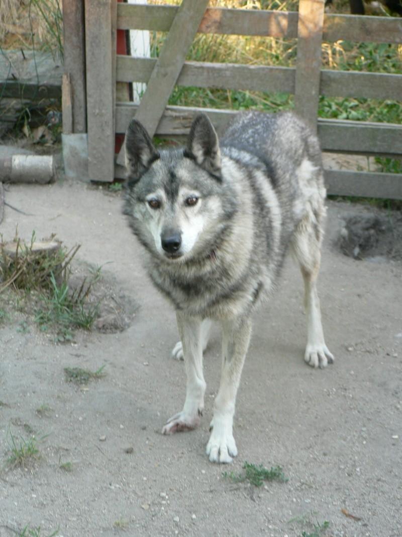 PIIA femelle husky  11 ANS CHEZ KEERO 45  ADOPTEE - Page 4 P1270310