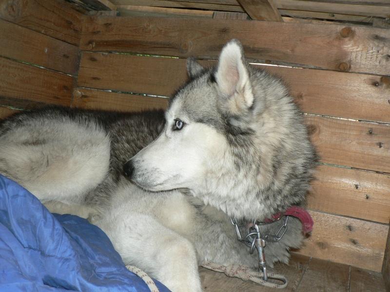 PIIA femelle husky  11 ANS CHEZ KEERO 45  ADOPTEE - Page 4 P1270311