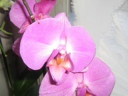Разведение орхидей. 10601010