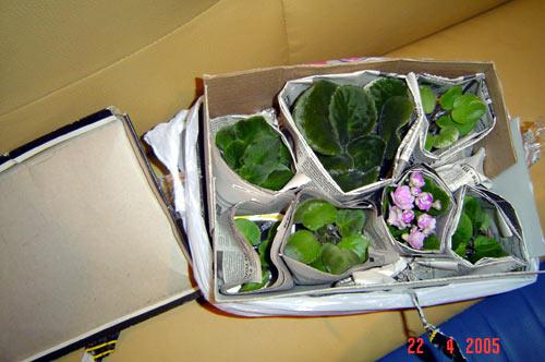 Выращивание листовых черенков в торфяных таблетках. 111