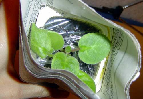 Выращивание листовых черенков в торфяных таблетках. 311