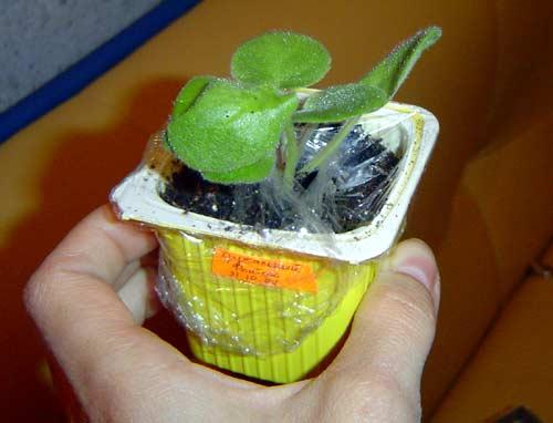 Выращивание листовых черенков в торфяных таблетках. 412