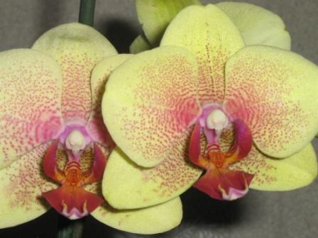 Разведение орхидей. Img_0511