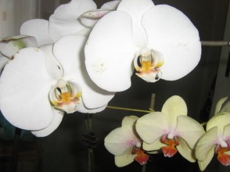 Разведение орхидей. Img_0810