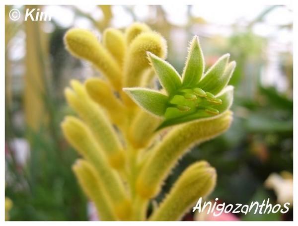 Anigozanthos flavidus  ( Fiche ) Anigoz10